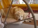 Fest schlaeft auch der Bordhund