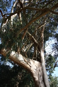 Eukalyptusbaeume auf der Íslas des Cies
