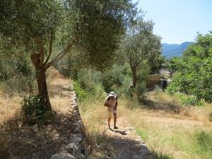 Im sog. Park - ein naturbelassenes Beispiel fuer Olivenbaumfelder auf steinmauergestuetzten Terrassen