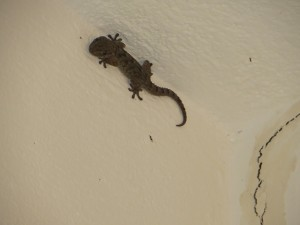 Mitbewohner - das Haus ist auch Herberge fuer mehrere kleine Geckos