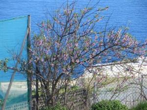 Erste Mandelbaumblueten