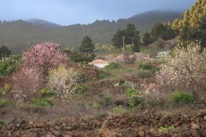 Bluehende Mandelbaeume, Pinienwald, Felder mit alten Steinmauern