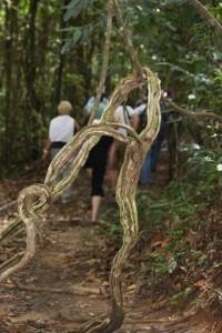 Affenleiter - diese Luftwurzeln winden sich von Baum zu  Baum und queren dabei auch schon mal die Wege, bilden skurrile Konstrukte