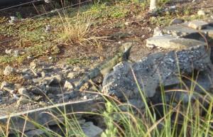 Auch der Iguana geniesst die Morgensonne auf seinem Platz am Wassergraben