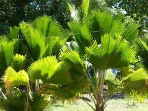 Palmen in der Freshwater Bay - lichtdurchflutet