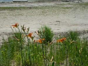 Its Lilientime - diese hier wachsen wild überall und oft flächendeckend