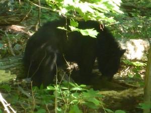 Bärig - nur wenige Meter oberhalb der Strasse sind zwei Bären auf Futtersuche
