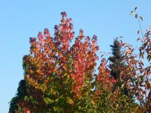 Unser Amberbaum trägt sein leuchtendes Herbstlaub